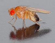 A pentelhíssima mosca da fruta (drosophila melanogaster)